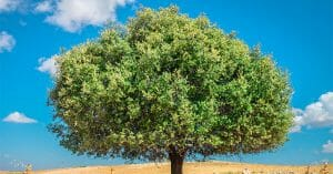 Argan Oil Comes From The Fruits Of Argan Tree