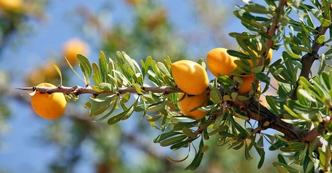 The Argan Oil Comes From The Argan Fruit