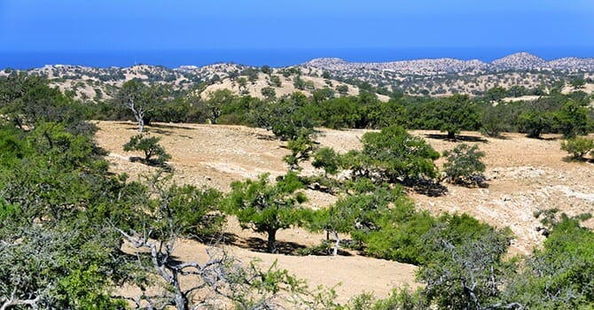 Argan Trees Are A Genus Of Flowering Plants Containing The Sole Species Argania Spinosa