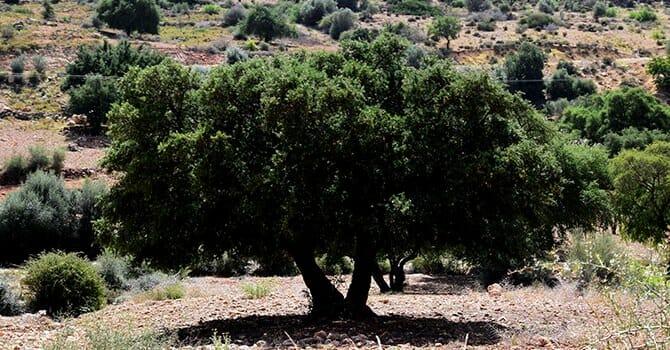 The Argan Tree Bears The Mysterious Argan Oil