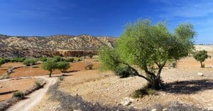 Argan Tree Comes With A Multitude Of Benefits