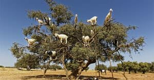 The Mysterious Argan Tree That Attract Not Only Humans But Also Goats
