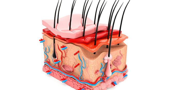 The Skin Is The Largest Organ Of The Body