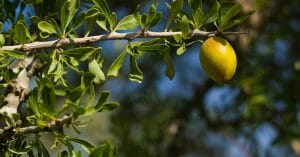 Argan Oil Is A Marvel From Nature