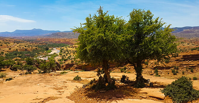 Argan Trees Sway In The Wind As Nuts Continually Supply The World With Oil